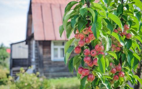 Колоновидная яблоня: правиль…