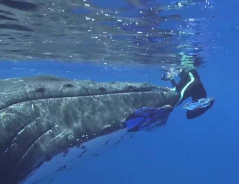 Акула бросилась на дайвера, но хищник не ожидал появления кита-спасителя! То, что произошло дальше, поразит вас до глубины души!