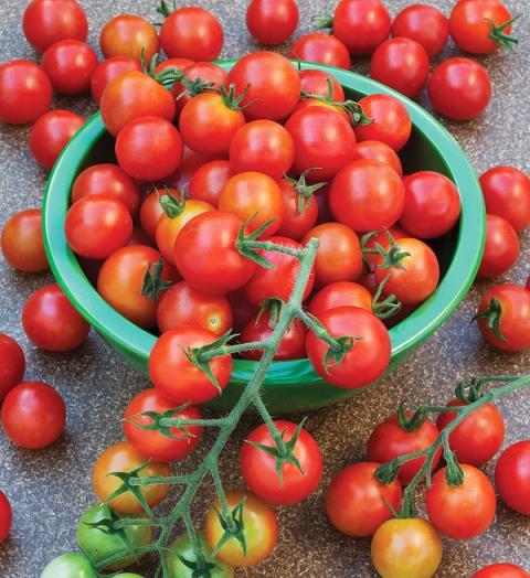 Озимые помидоры по всем правилам