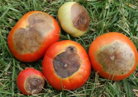 Как не допустить в огороде появления вершинной гнили помидоров