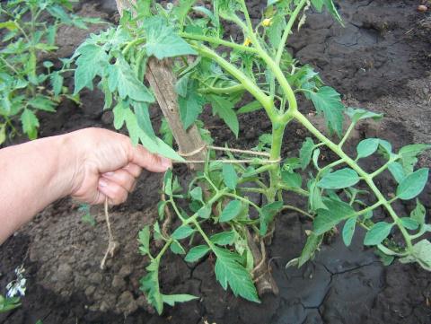 О подвязке помидоров