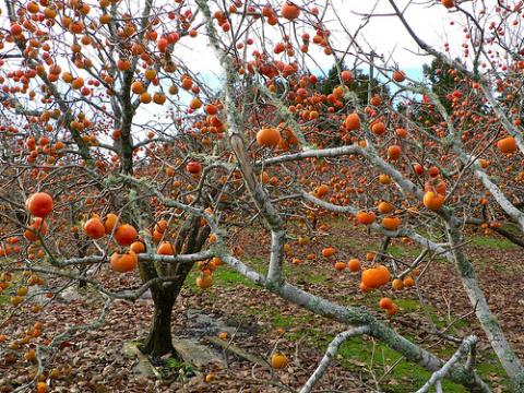 Золотая ягода – хурма