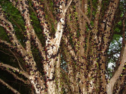 Джаботикаба – удивительное дерево