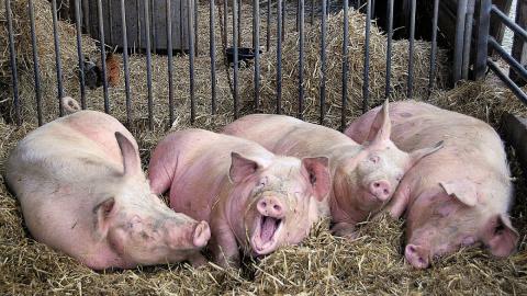 Африканская чума свиней обна…