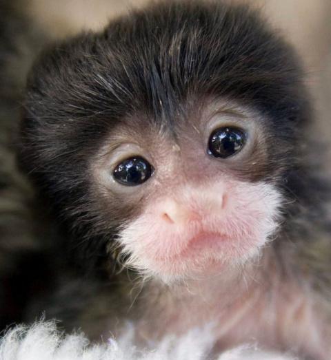 В новосибирском зоопарке успешно выкормили двух детенышей обезьян