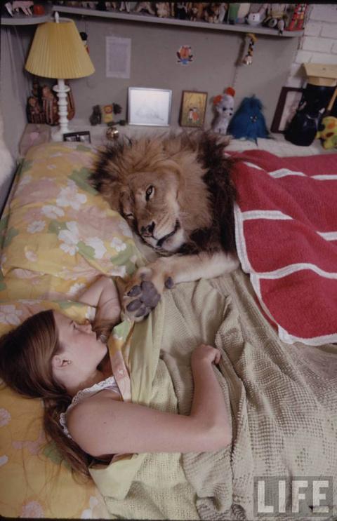 Фотографии льва, который стал полноценным домашним животным