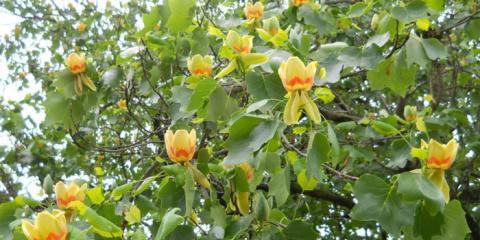 Растение Лириодендрон тюльпановый, выращивание и уход