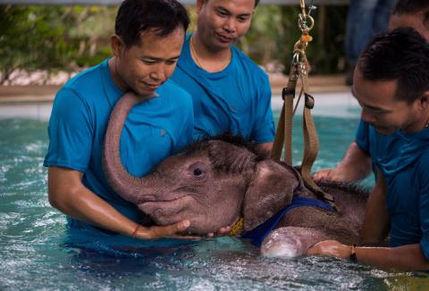 Как слоненка учат заново ходить