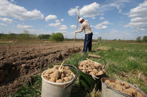 Картошка: готовимся к посадке