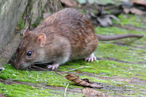 Удивительные крысы