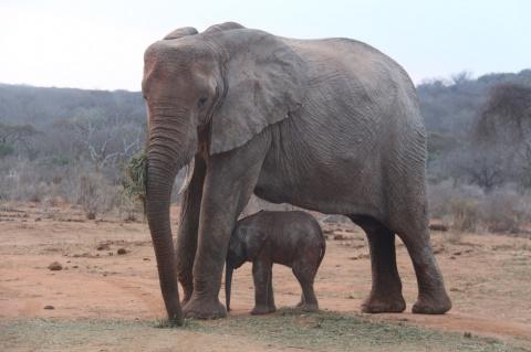 Повзрослевшая слониха-сирота вернулась к своим спасителям с удивительным подарком!