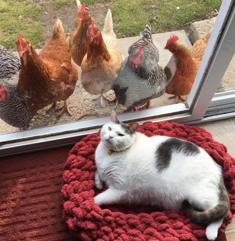 Этот толстенький кот так хорош, что даже цыпы не могут устоять и любуются им