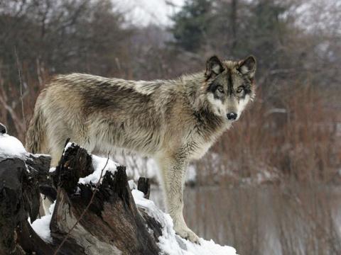 Можно ли есть мясо волка?