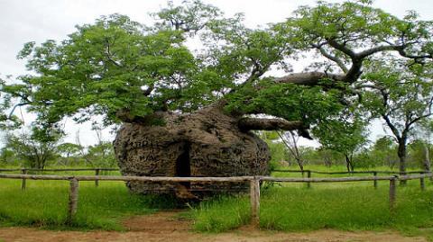25 самых странных деревьев