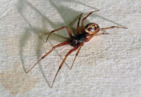 ТОП-25: Самые ядовитые пауки…