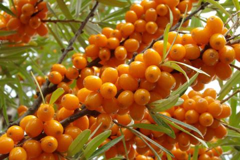 Облепиховые неприятности: как не потерять урожай