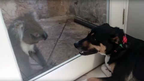 Дикая коала подружилась с домашним псом