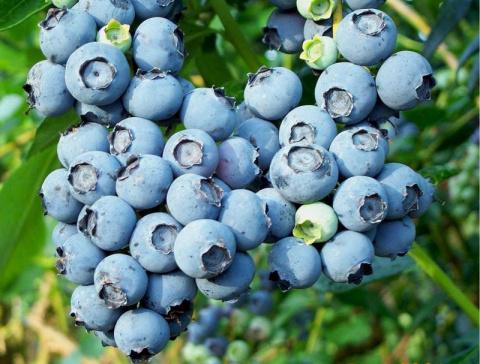 Голубика садовая набирает популярность: советы по выращиванию