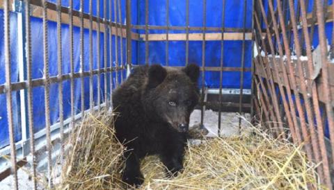 В Кировской области спасли оголодавшего медвежонка