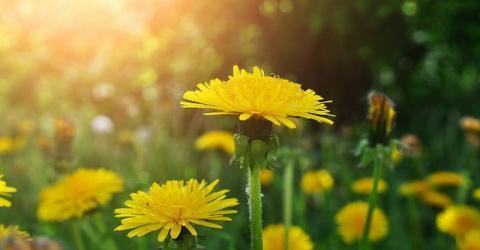 Самое многофункциональное лекарственное растение — одуванчик!