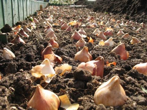 Середина осени - идеальное время для высадки декоративных луковичных растений
