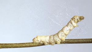 Гусеницы шелкопряда плетут с…
