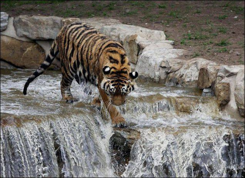 Амурский тигр спасается от ж…