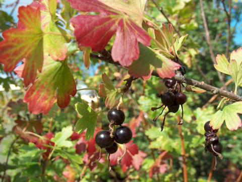 Что делать с ягодными кустарниками осенью