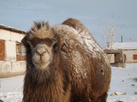 Верблюдоводство станет рентабельной отраслью в России