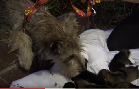 Эта удивительная собака родила в кустах за несколько часов до спасения