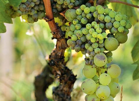 Почему горошит виноград, и к…