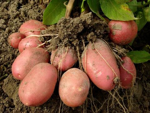 Правильное внесение удобрений под картофель удвоит урожай!
