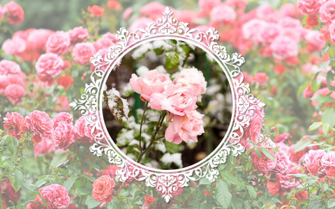 Розы, цветущие весь сезон – …