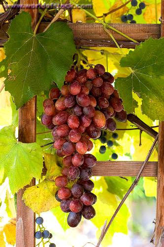 Виноград: как правильно ухаж…