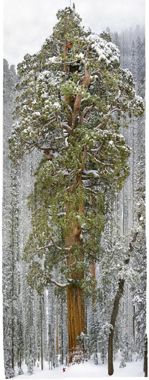 Этому огромному дереву 3 200 лет!