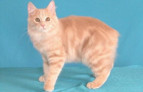 КОШКИН ДОМ. Пять самых дружелюбных пород кошек
