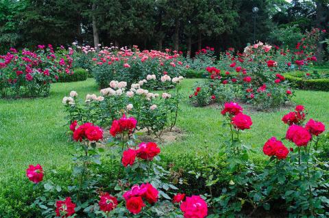 Необычное удобрение для роз …