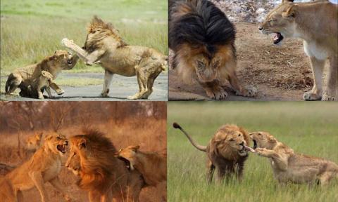 Семейные разборки львов