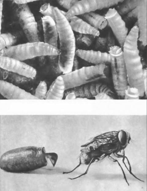 Личинки мух едва не забрались в мозг девушки