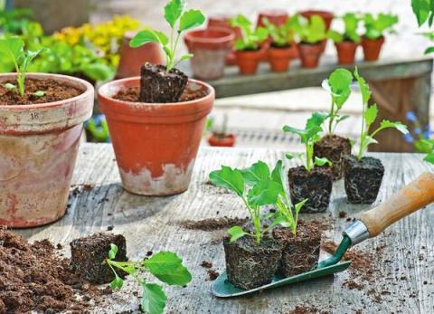 Кольраби — капуста без кочана, одна из самых скороспелых овощных культур