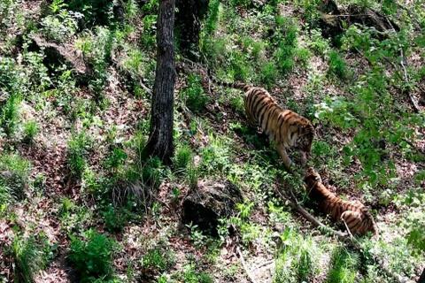 В Приморском сафари-парке тигр Амур встретился со своей невестой Уссури