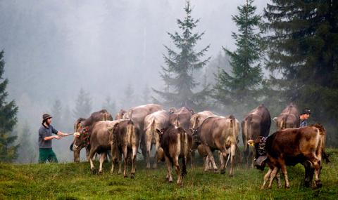 Альмабтриб, или скот идёт домой