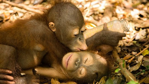 Приют для малышей-орангутанов