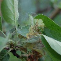 Гусеницы на яблоне в паутине