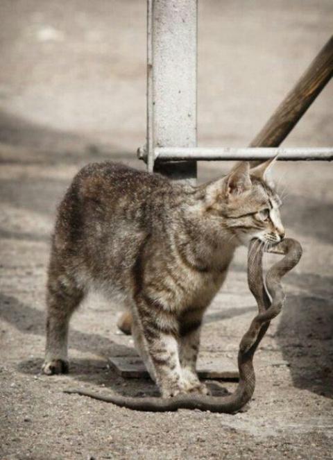 А боятся ли кошки змей?