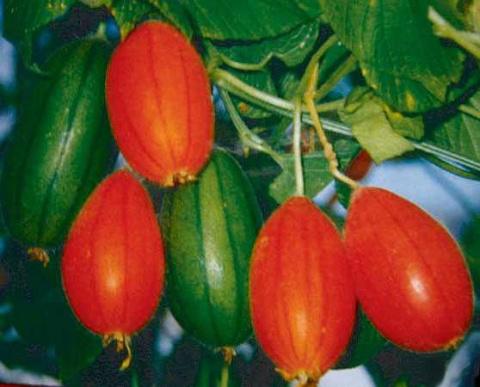 Красные огурцы (тладианта): описание, характеристика, особенности выращивания