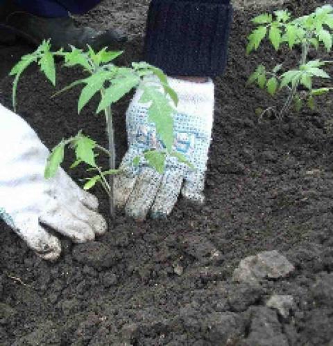 Вы выращиваете рассаду сами или покупаете на рынке?