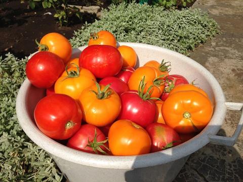 Страшную фитофтору уничтожила... медной проволокой и получила огромный урожай помидоров