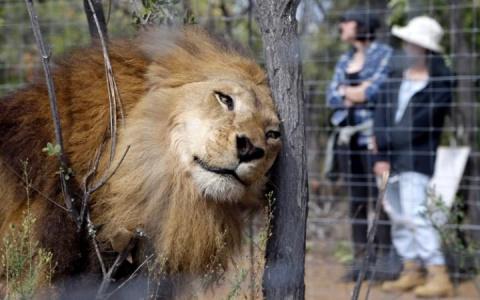 У измученных цирковых львов началась новая счастливая жизнь