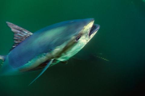 Знакомимся с тунцом – биомашиной, близкой к совершенству